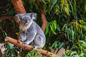 Fonds d'écran Koalas Branche Animaux