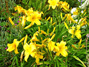 Bilder Lilien Knospe Gelb
