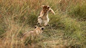 Fotos Löwe Babys Sprung 2 Gras Tiere