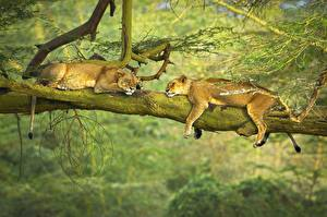 Pictures Lions Lioness Sleeping 2 Laying Branches Animals