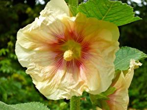 Bilder Malven Nahaufnahme Gelb Blüte