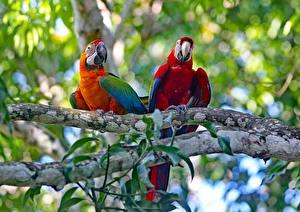 Image Parrot Ara (genus) Birds 2 Branches animal