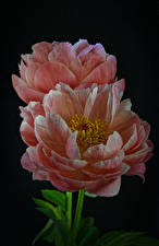 Photo Peony Closeup Black background 2 Pink color flower