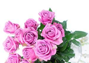Fotos Rose Sträuße Rosa Farbe Weißer hintergrund Blüte