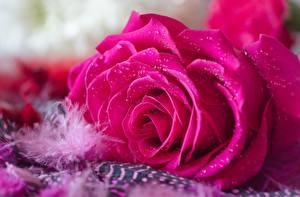 Bilder Rosen Großansicht Rosa Farbe Tropfen Blüte