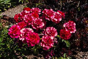 Hintergrundbilder Rose Rot Blumen