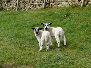 Fotos Hausschaf Jungtiere Gras 2 Tiere