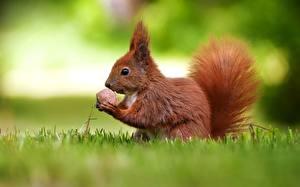 Fotos Eichhörnchen Nussfrüchte Walnuss Gras Tiere