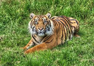 Fotos Tiger Gras HDRI Starren ein Tier