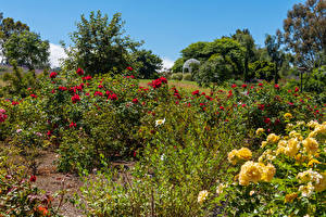 Bakgrunnsbilder Amerika Hage Rosa California Busker South Coast Botanic Garden Natur