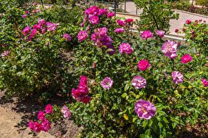 Bakgrunnsbilder Amerika Roser Busker South Coast Botanic Garden Blomster