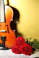 Bilder Violine Rose Noten Drei 3 Rot Blüte