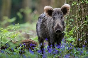 Image Wild pig