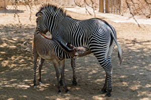 Fotos Zebra Jungtiere 2 ein Tier