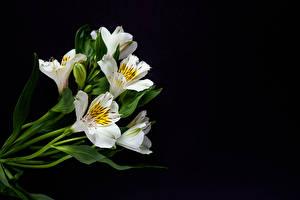 Hintergrundbilder Alstroemeria Schwarzer Hintergrund Weiß Blüte