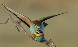 Pictures Birds Two Branches Gruccioni animal