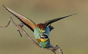 Bilder Vögel Zwei Ast Gruccioni ein Tier