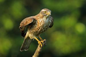 Images Birds Hawk Blurred background Common buzzard animal