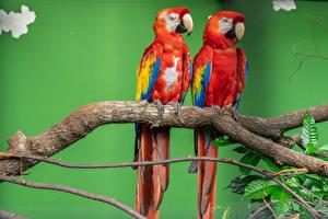 Photo Bird Parrot Ara (genus) 2 Branches Beak Animals