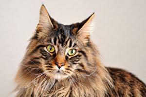 Fotos & Bilder Katze Maine Coon Blick Schnauze Tiere