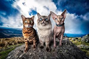 Desktop hintergrundbilder Katze Sphynx-Katze Bengalkatze Drei 3 Starren HDR Neva Masquerade ein Tier