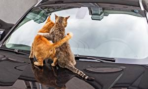Pictures Cats Two Embrace Glass Back view Hood car animal