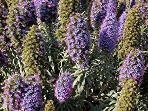 Fotos Großansicht Echium Blumen