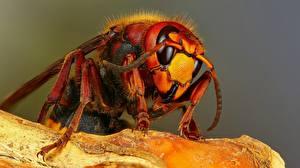 Wallpapers Closeup Macro photography Hornet Animals