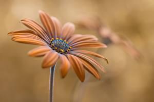 Bilder Nahaufnahme Braunes Osteospermum Blumen