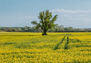 Bilder Tschechische Republik Felder Raps Bäume Moravia Natur