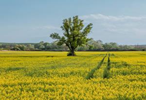Photo Czech Republic Fields Oilseed rape Trees Moravia Nature