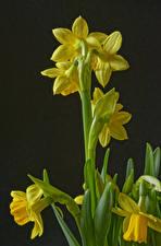 Bilder Narzissen Gelb Blüte