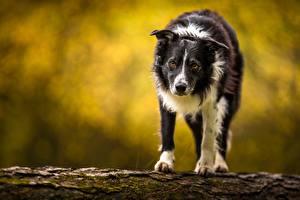 Fotos Hunde Border Collie Blick