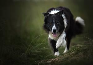 Hintergrundbilder Hunde Border Collie Zunge