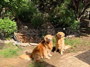Bilder Hund Golden Retriever Zwei Tiere