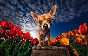 Photo Dogs Tulips Fields Sky HDRI Chihuahua Staring Animals
