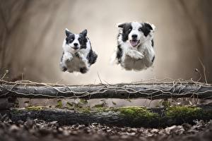 Bilder Hunde 2 Laufsport Sprung Border Collie ein Tier