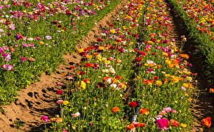 Photo Fields Spearworts Many Multicolor Flowers