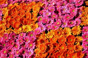 Bilder Gerbera Viel Textur Mehrfarbige Blumen