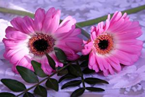 Bilder Gerbera 2 Rosa Farbe Blüte