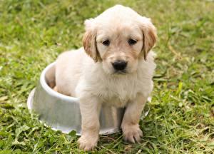 Fotos Golden Retriever Hunde Welpen Schüssel Sitzen Traurig