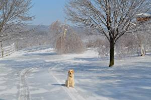 Images Golden Retriever Winter Dogs Snow Trees Sit animal