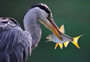 Fonds d'écran Ardéidés Poisson Bec Tête grey heron