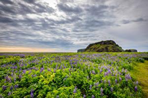 Hintergrundbilder Island Felder Lupinen Himmel Natur
