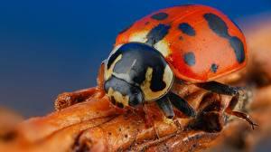 Pictures Ladybugs Closeup Macro photography