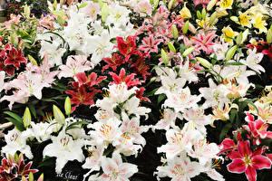 Fotos Lilien Viel Knospe Blüte
