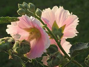 Hintergrundbilder Malven Großansicht Rosa Farbe Knospe Blüte
