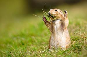 Hintergrundbilder Murmeltiere Gras Lustiges Prairie Tiere