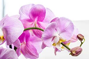 Bilder Orchideen Hautnah Weißer hintergrund Rosa Farbe Blumen