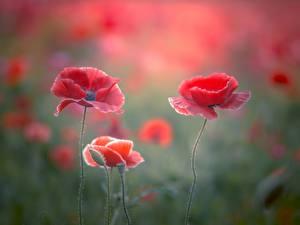 Hintergrundbilder Mohn Nahaufnahme Rot Blumen